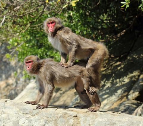 mount-in-japanese-macaque-_c_lucie-rigaill_600.jpg