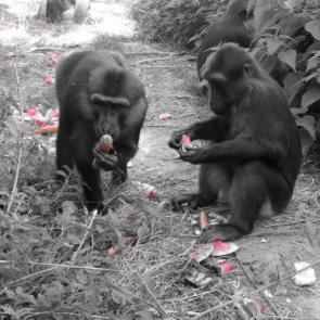 macaques_de_tonkean.jpg