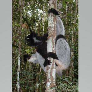 Indri (Lémuriens), Madagascar