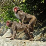macaque_japonais_garcia_3.jpg