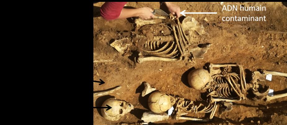 ADN ancien et contaminations sur le terrain (site des Mastraits)