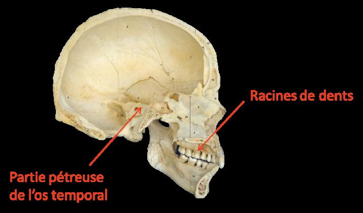 Emplacements des prélèvements d'ADN ancien sur le crâne